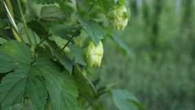 Plants and flowers of hops in 4k. Hops flowers still attached to the plant but ready for harvesting. These will be used fresh for a beer called harvest ale stock video
