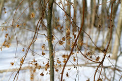 Hops flowers in winter forest Royalty Free Stock Photo