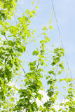 Hops garden Stock Photos