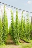 Hops garden Stock Image