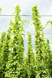 Hops garden Royalty Free Stock Image
