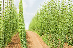 Hops Garden Stock Images