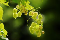 Hops growing on Humulus lupulus plant. Common hop flowers or seed cones and green foliage backlit by the sun. Royalty Free Stock Photography