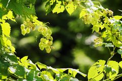 Hops growing on Humulus lupulus plant. Common hop flowers or seed cones and green foliage backlit by the sun. Stock Image