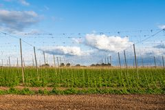 Hops growing on trellises in a field for use in the brewing industry stock images