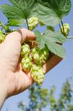 Hops in hand Stock Photos
