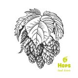 Hops hand drawn illustration Royalty Free Stock Images