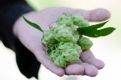 Hops in hand Stock Photo