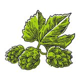 Hops herb plant which is used in the brewery of beer. For labels and packaging beer. Vector engraved illustration.  Royalty Free Stock Image