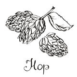 Hops herb plant which is used in the brewery of beer. For labels and packaging.  Royalty Free Stock Image