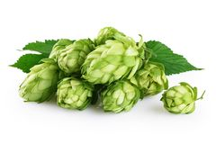 Hops and hop leaves isolated on white background. With clipping path stock photo