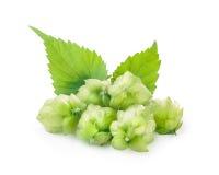 Hops (humulus) Stock Photos