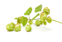 Hops (Humulus lupulus) Stock Photography