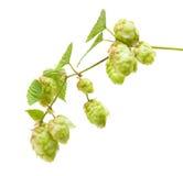 Hops (Humulus lupulus) Stock Image