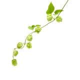 Hops (Humulus lupulus) Royalty Free Stock Images