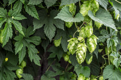 Hops Humulus lupulus. Hops plant during ripening cones Royalty Free Stock Photos