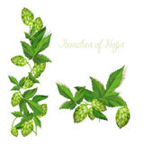 Hops. Illustration. Isolated background. Stock Photo