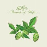 Hops. Illustration. Isolated background. Royalty Free Stock Images