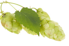 Hops isolated. On the white Royalty Free Stock Photo