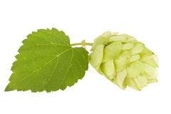 Hops isolated Stock Photos