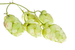 Hops isolated. On a white Royalty Free Stock Image