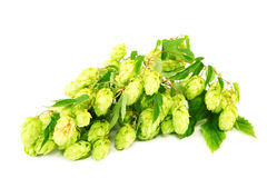 Hops isolated on white background Stock Image
