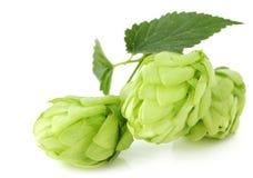 Hops isolated on white background. Stock Image