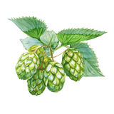 Hops. Isolated on a white background. Watercolor illustration. Stock Image