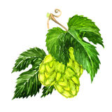 Hops isolated on a white background Stock Photography