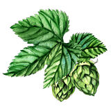 Hops with leaves isolated on a white background Royalty Free Stock Images