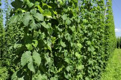 Hops leaves in plantation #1, baden Stock Image