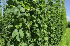Hops leaves in plantation #1, baden Stock Image
