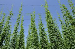 Hops leaves in plantation #3, baden Stock Images