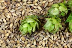 Hops and Malt. Macro photo of hops and malt as background Stock Photo