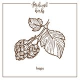 Hops medical herb sketch botanical vector icon for medicinal herbal phytotherapy design Royalty Free Stock Image