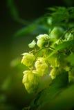 Hops in natural habitat. Beautiful, fresh, hops in natural habitat Royalty Free Stock Images