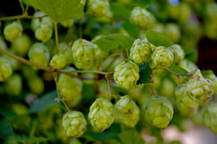 Hops. Royalty Free Stock Photos