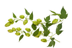 Hops plant Stock Photography