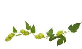 Hops plant royalty free stock photos
