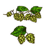 Hops plant branches, flowers and vector cones Royalty Free Stock Photos