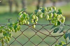Hops is a plant family of hemp family. Czech Republic Stock Photo