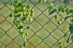 Hops is a plant family of hemp family. Czech Republic Royalty Free Stock Photography