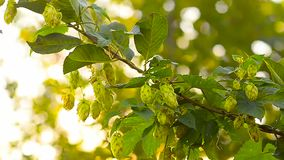 Hops plant that grows in the garden, on the farm. The wind shakes branches hop ingredient for beer and kvass. stock footage