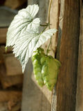 Hops Plant Stock Images