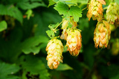 Hops plant Royalty Free Stock Image