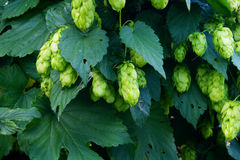 Hops plant Royalty Free Stock Photo