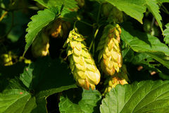 Hops plant Stock Image