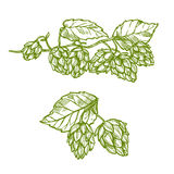 Hops plant sketch for food and drinks design Royalty Free Stock Image