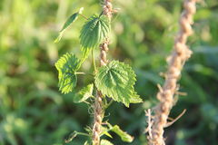 Hops Plant Tendril_2 Stock Image