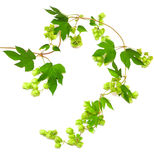 Hops plant twined vine Royalty Free Stock Photography